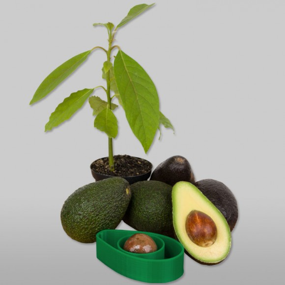 AvoSeedo-Avocado-Tree